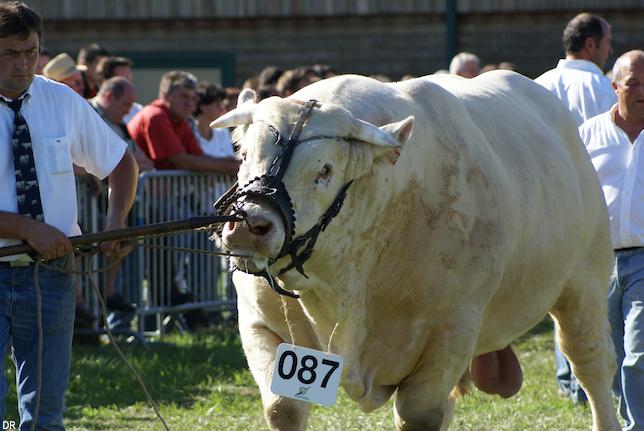 Concours de viande de race charolaise