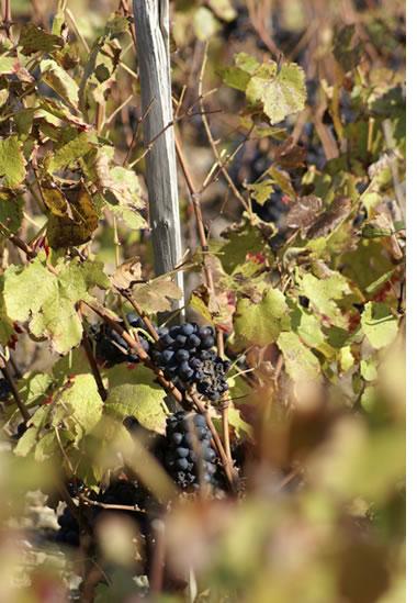beaujo_vigne