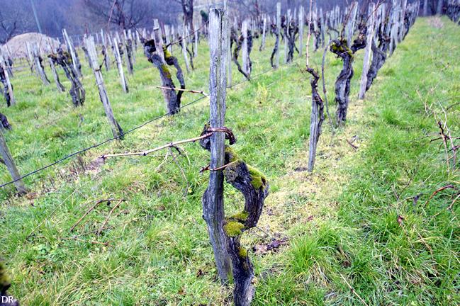 les vignes centenaires de Plairont