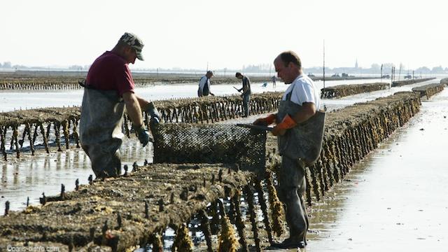 Remuage des poches d'huîtres