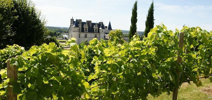 Les vignes devant le château d'Amboise, dernière demeure de Léonard de Vinci