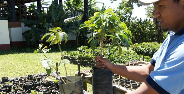 plantations-cafe-pousse