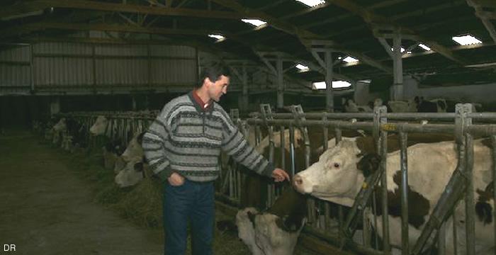 saint-nectaire-vache