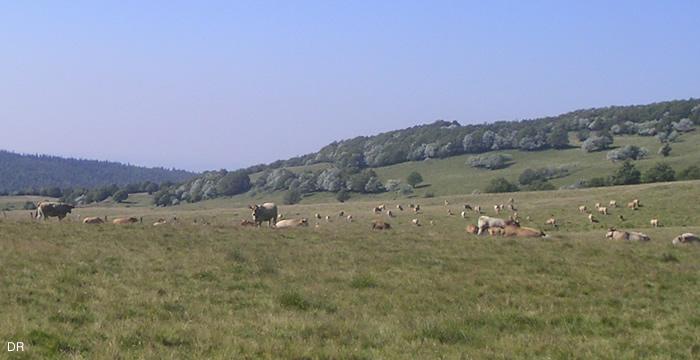 vache-aubrac-estive