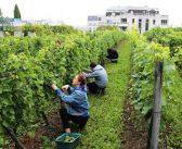 Vendanges à Suresnes, seul vignoble de France avec vue sur la Tour Eiffel