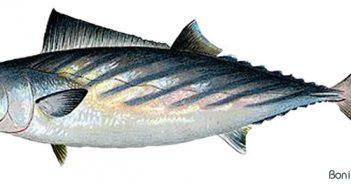 L'UMIH appelle au boycott des poissons issus de la pêche électrique