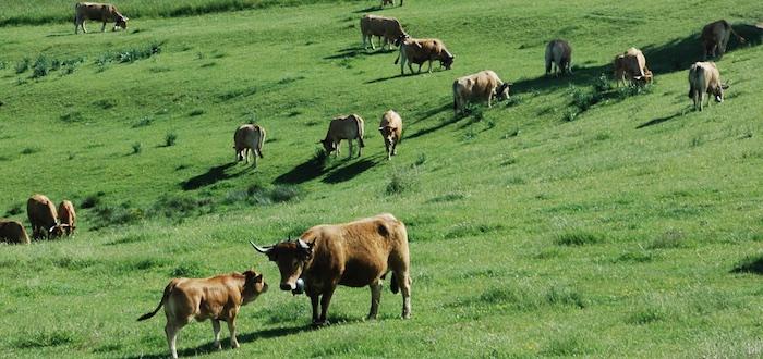 Une vache Aubrac et son veau avant le départ pour la transhumance